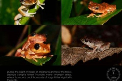 Life09-Dzanga-Ndoki-NP-2-Frogs